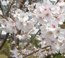 桜と多気工業団地 お仕事に便利です