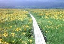 ニッコウキスゲ咲く雄国沼