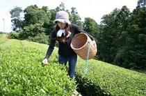 お茶摘み体験