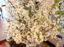 玄関脇の山桜①
