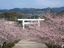桜の季節の安房神社♪車5分