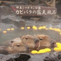 【伊豆シャボテン公園】冬の風物詩♪カピバラの温泉
