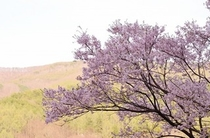 伊那市藤沢の桜