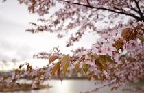 白樺湖の桜