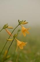 霧の中のニッコウキスゲ