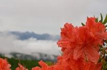 ビーナスライン沿いに咲くレンゲツツジ