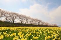 上川沿いの桜並木