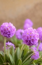 花壇のプリムラ