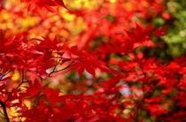 蓼科の紅葉