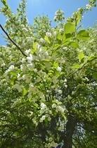 庭のエゾコリンゴは毎年咲きます