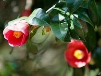 笠山椿群生林のヤブ椿