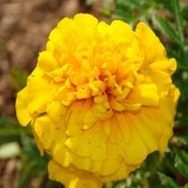 黄色のマリー