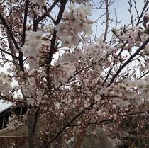 露天風呂 遠見の湯(遠見の湯) 庭の桜満開♪