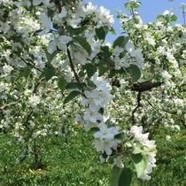 夜間瀬のりんごの花(5月上旬頃)