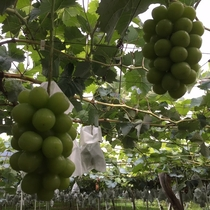 くだもの狩り(夜間瀬は果物の宝庫♪様々な種類の美味しい葡萄をお楽しみいただけます。当館果樹園)