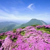 九重山ミヤマキリシマ