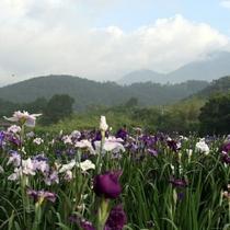 神楽女湖菖蒲園