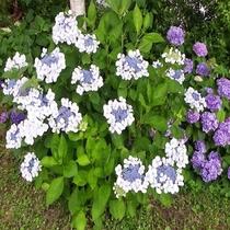 敷地に咲く紫陽花