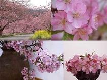 河津桜-組写真