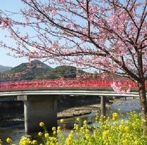 河津桜・2月より桜祭開催!