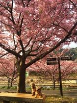 河津桜とわんちゃん