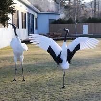 *頻繁に野生のタンチョウ鶴が敷地内に飛来し、その姿を間近でご覧いただけます。