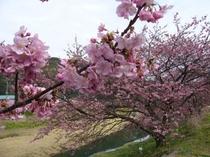 河津桜のアップ