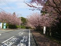 伊豆高原の大寒桜