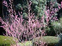 露天風呂の桃の花