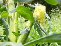 ペンションの無農薬畑で作ったトウモロコシです。