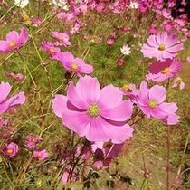 *【周辺】コスモス園は、約50種100万本の色とりどりのコスモスとダリアが咲き誇ります。