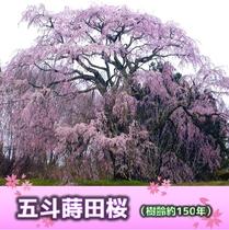 五斗蒔田桜(樹齢約150年)当ホテルより車で約40分