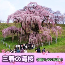 三春の滝桜(樹齢1000年以上)当ホテルより車で約40分