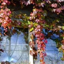 窓に絡む紅葉したアイビー