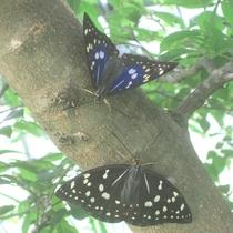 【オオムラサキ】美しい蝶も見られます