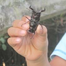 【クワガタ】親子で昆虫採取はいかがですか?