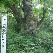 【夏】しなの木