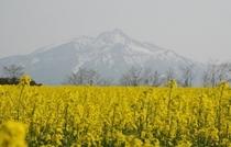 黄色いじゅうたん 菜の花畑
