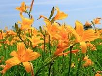 ベンセ湿原に咲くニッコウキスゲ