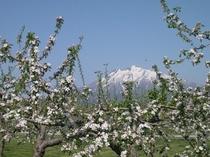 りんごの花も岩木山に見守られて