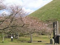 さくらの里に10月さくらが咲きました、小さな可憐な桜です!