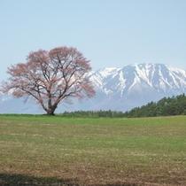 春 小岩井一本桜