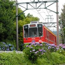 *【あじさい電車】箱根登山鉄道沿線のあじさいは、6月中旬頃から開花の時期を迎えます。