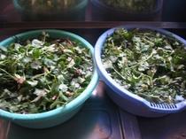 山菜 三つ葉