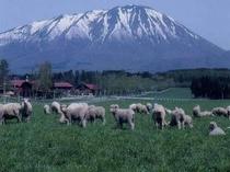 小岩井農場・羊の放牧