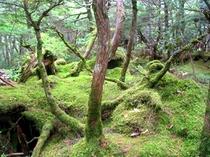 八ヶ岳白駒の池周辺にひろがる苔の森美!!