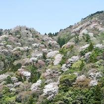相津峠(山桜)