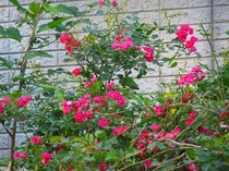 《庭のバラ》