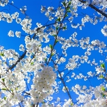 ○桜の季節は4月上旬です