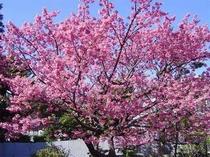 15. 大体1月上旬から〜2月中旬まで咲き誇る「土肥桜」。他にも土肥では、様々な種類の桜が見られます。
